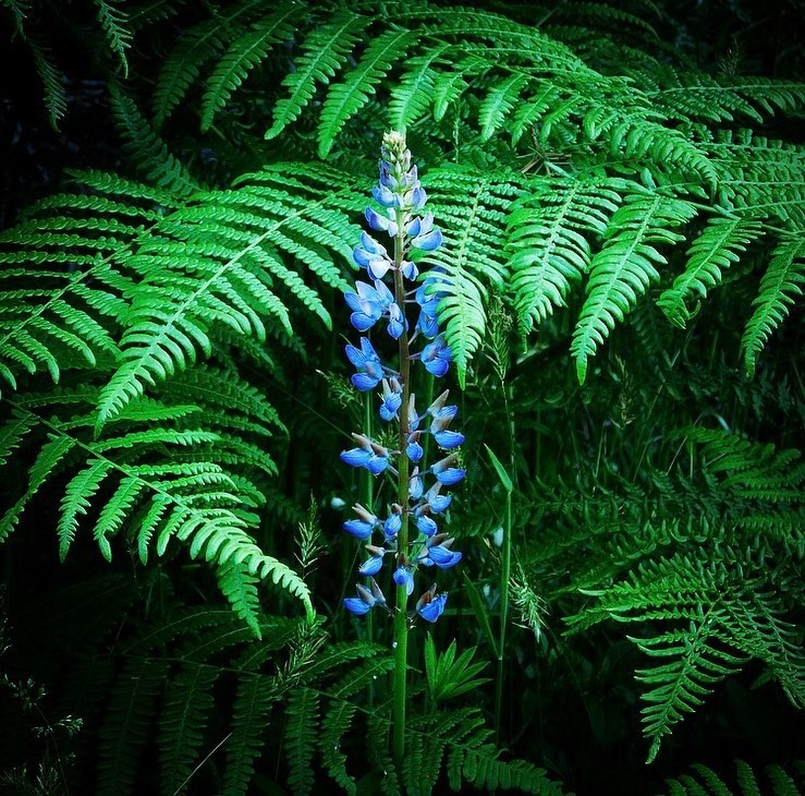 Lupine with bracken fern