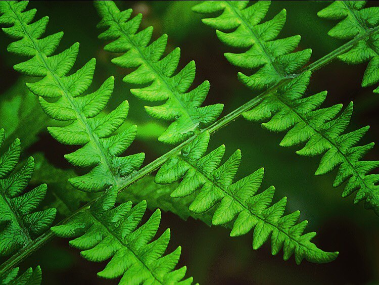 Fractals are objects in which the same patterns occur again and again at different scales and sizes. Nature is full of them, including snowflakes, eroded coastlines, and this fern. Fractals are soothing to our eyes and our brains.