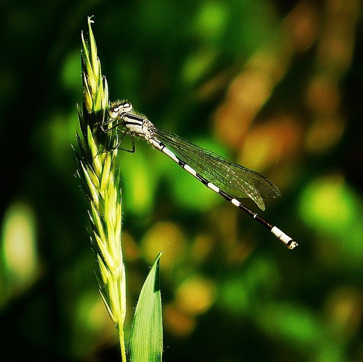 Spearhead bluet (damselfly)