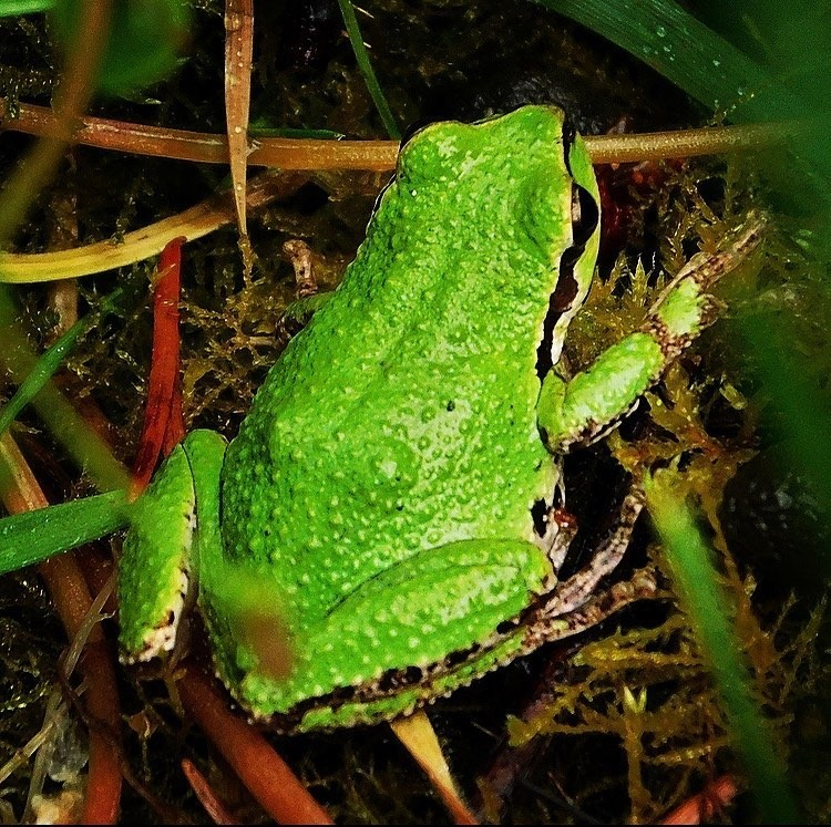Northern Pacific tree frog