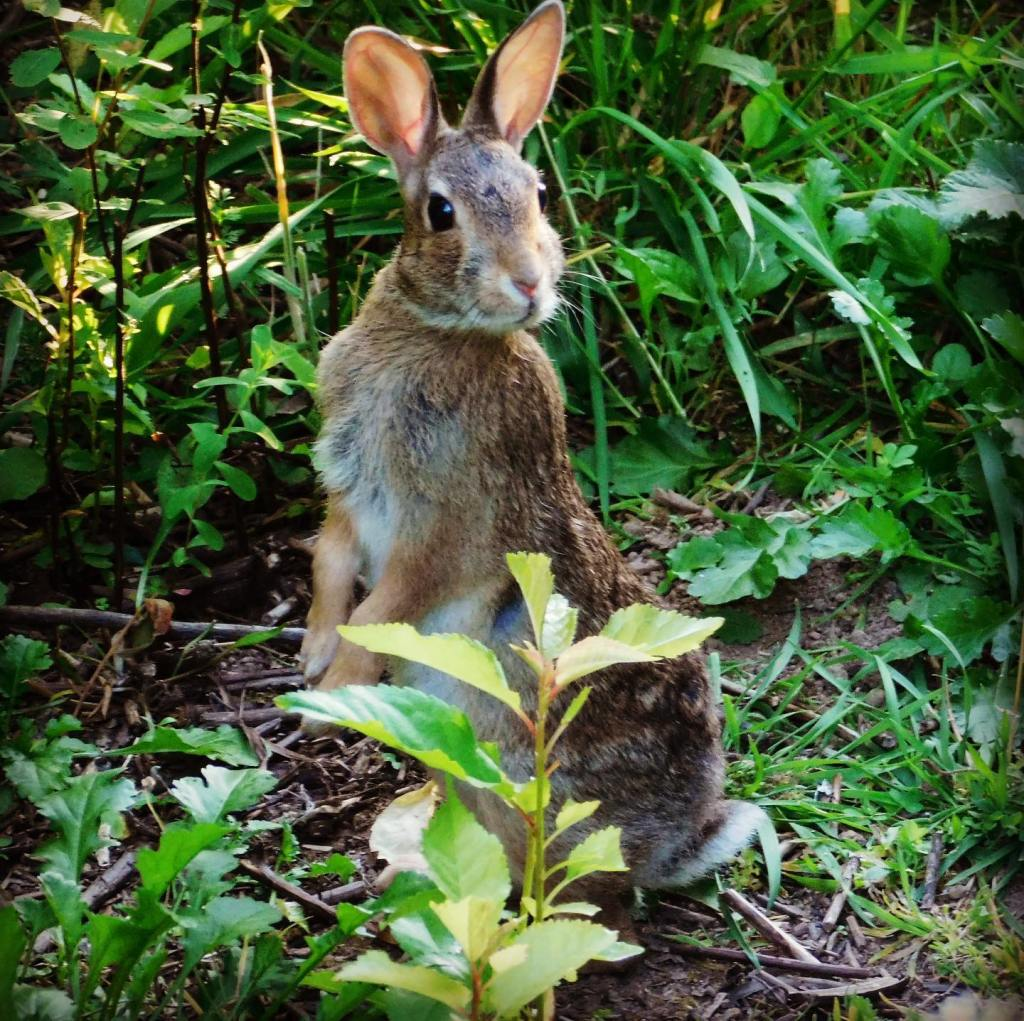 "I see bunnies every day on what is now called ""The Rabbit Trail"" behind the house. I resist taking pictures of every one, but I couldn't pass up this adorable one who agreed to pose for the camera."