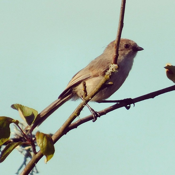 This bushtit (please read that as carefully as I typed it) is tiny and doesn't stay put for long. I'm glad to get a decent picture of one. They spurt about in flocks and are usually just a bunch of little blurs!