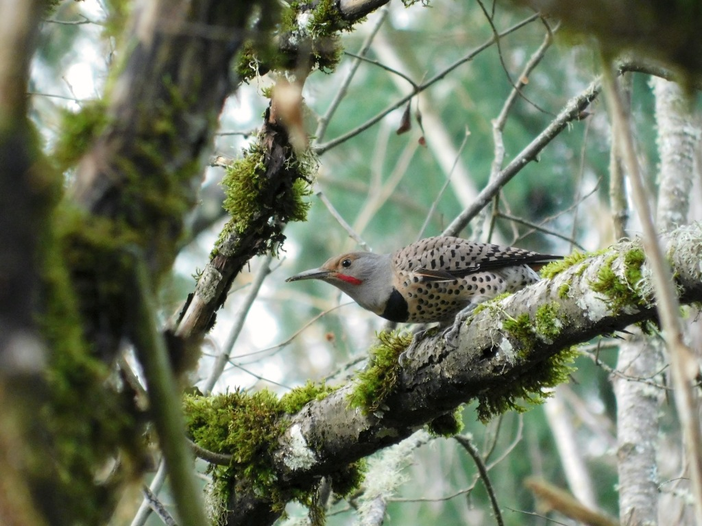 The northern flicker is a member of the woodpecker family. Over 100 common names for the northern flicker are known, including yellowhammer, gawker bird, harry-wicket, heigh-ho, wake-up, and yarrup. Many of these names are attempts at onomatopoeia, which I celebrate.