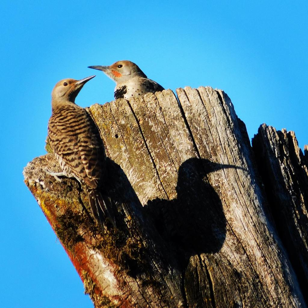 Three northern flickers (if you count the shadow)