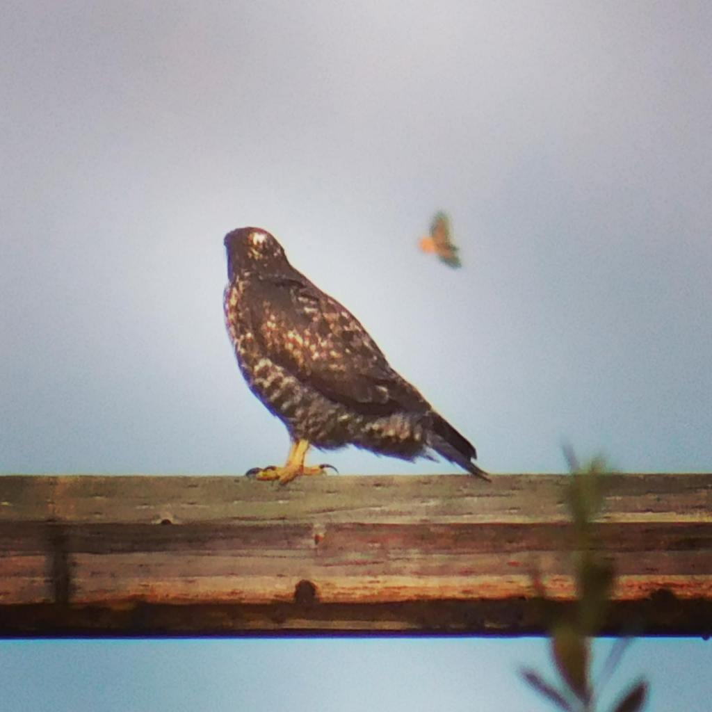 A hawk, birdwatching