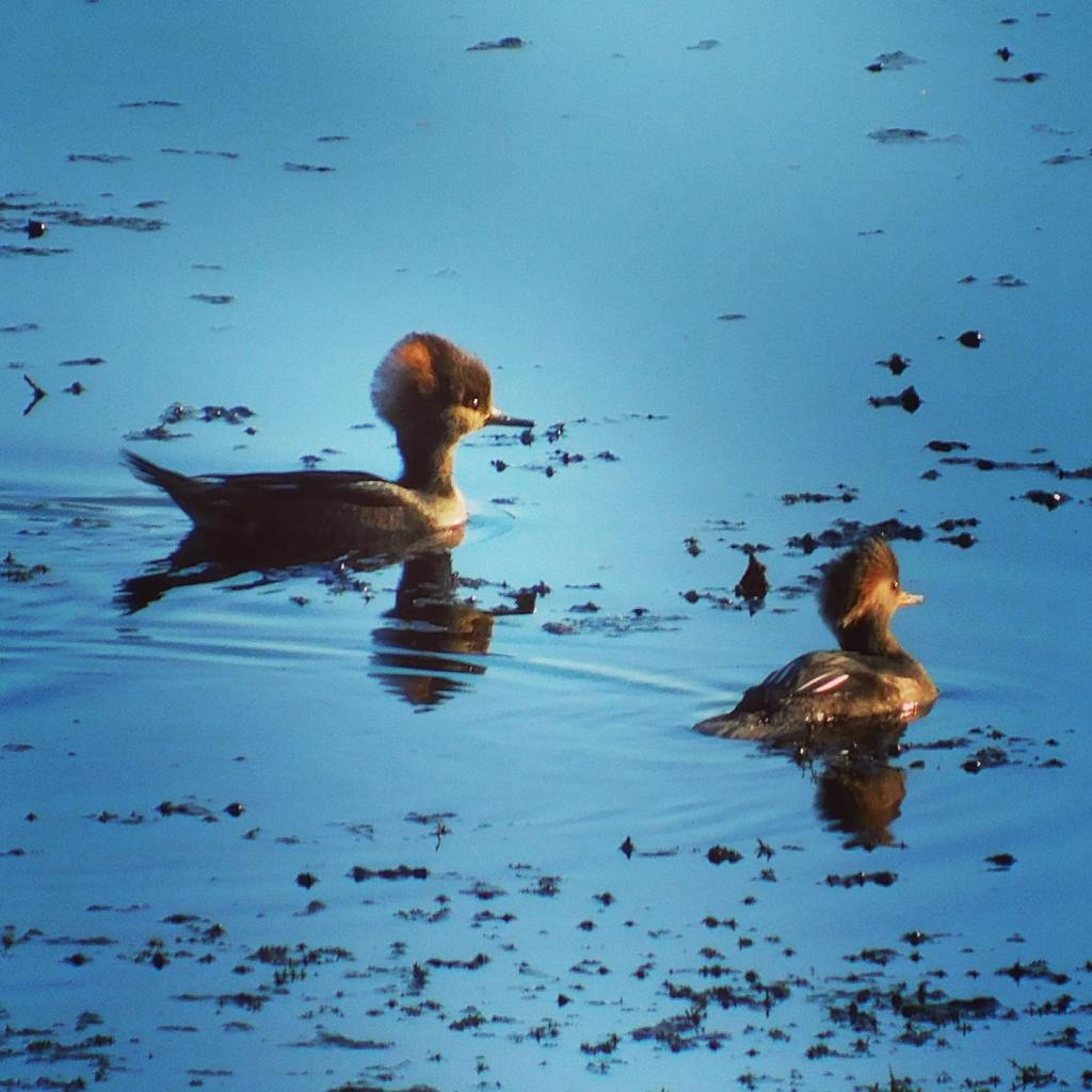 The hooded merganser's native habitat is restricted to North America. #lockdownlife