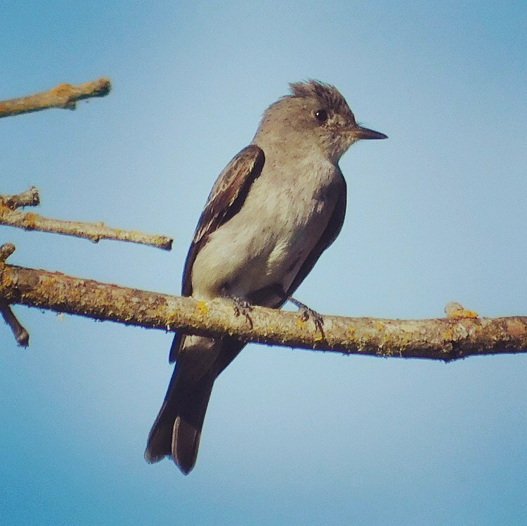 New bird on my list! According to Wikipedia, the western wood pewee (Contopus sordidulus) is a small tyrant flycatcher, which seems rather judgmental, even in Latin. I think it's a cutie.
