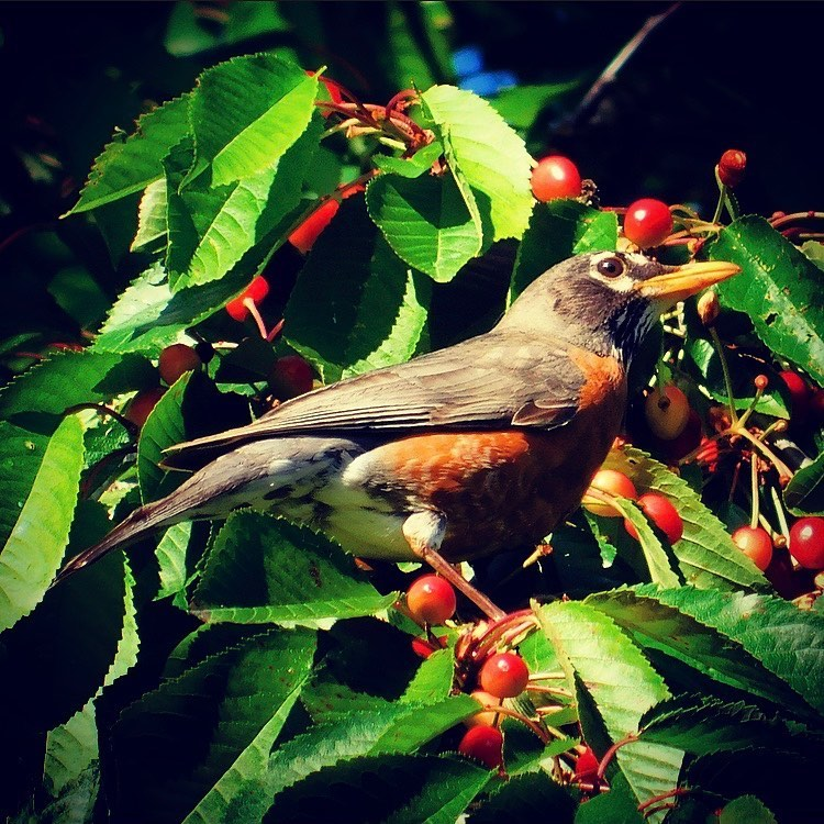 American robin in a wild cherry tree