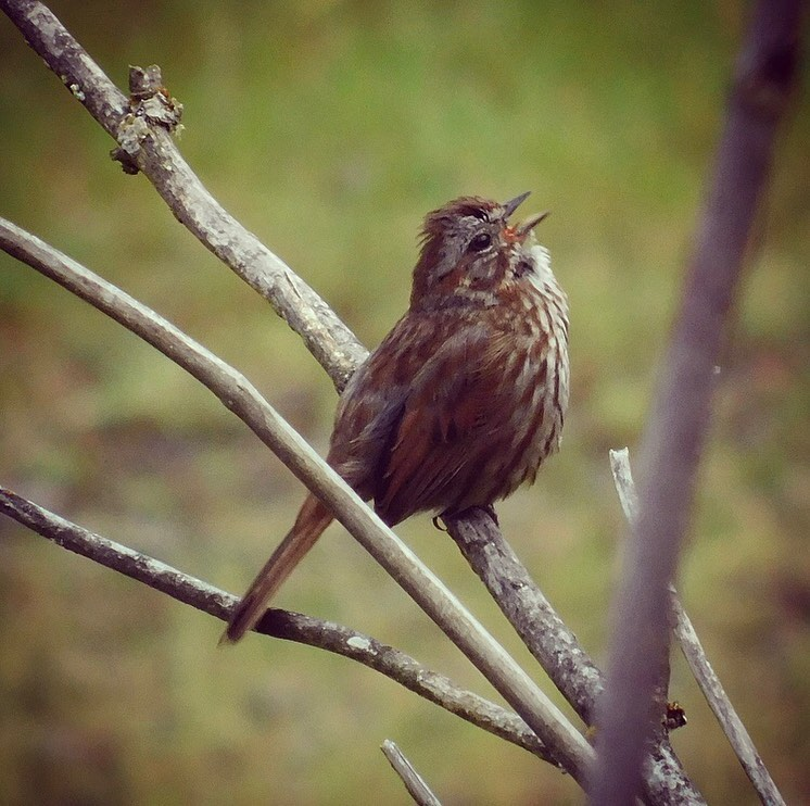 How the song sparrow got its name
