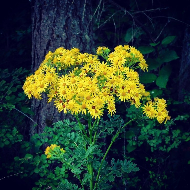Over a season, one tansy ragwort plant may produce 2,000 to 2,500 flowers.